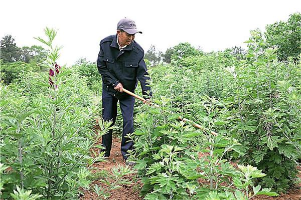 艾草种植成为团结村
