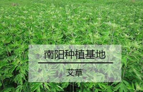 南阳艾草种植