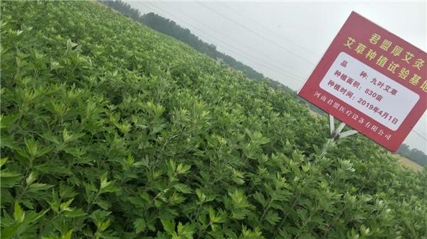 一二三产融合发展打造艾草全产业链